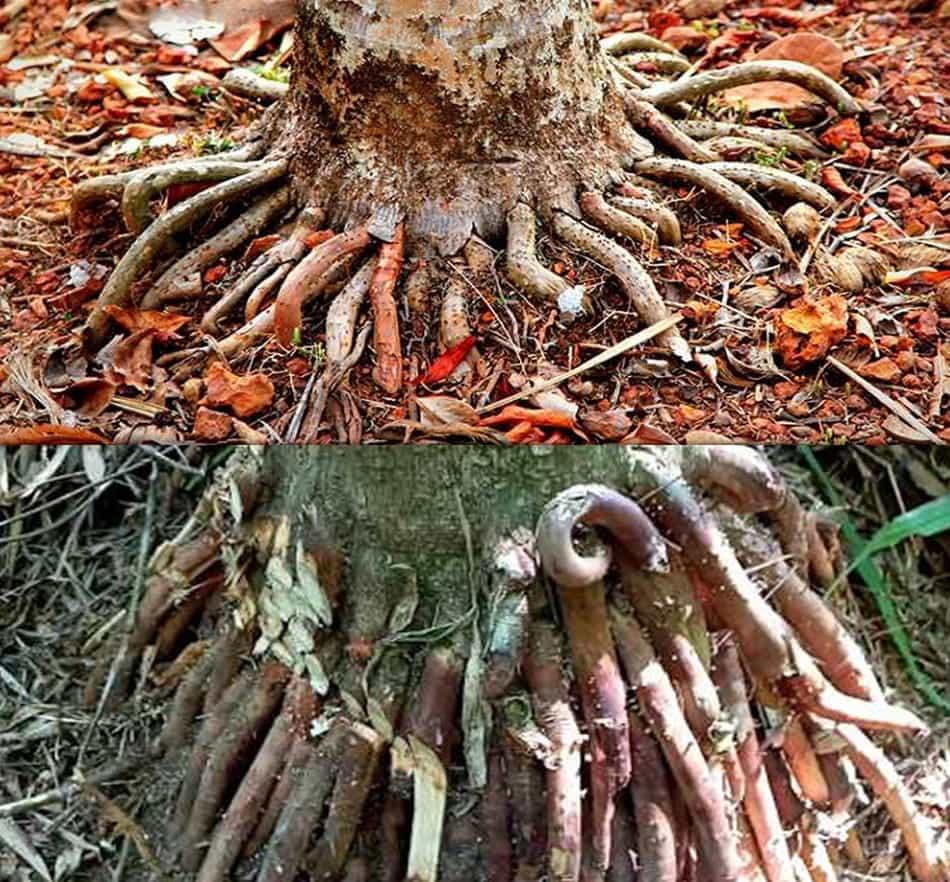 rễ cau tre